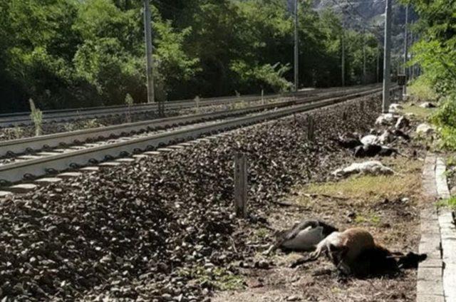 Eboli, capre travolte ed uccise dal treno